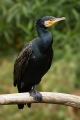 400px-Phalacrocorax_carbo_Vic
